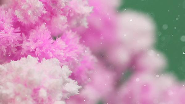 賽先生科學工廠|魔法櫻花(小/10cm)-獨家櫻花香