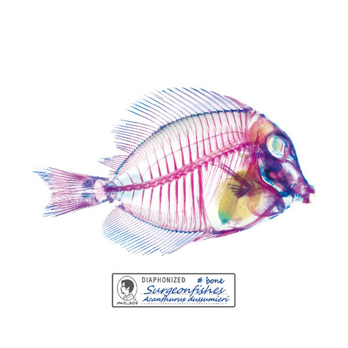 賽先生科學工廠 | 解析透明魚玻璃杯墊(刺尾鯛)