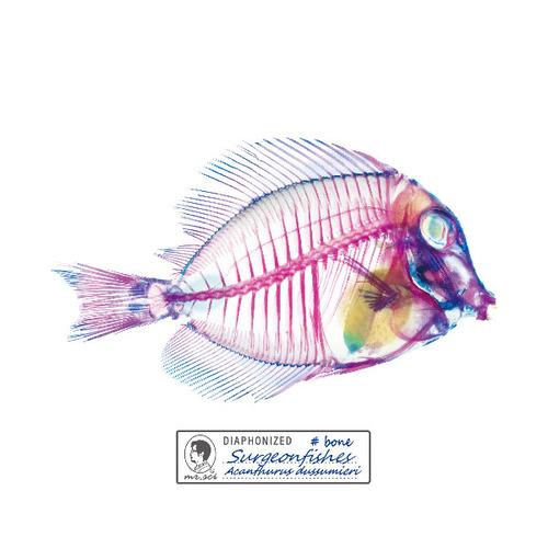 賽先生科學工廠 解析透明魚玻璃杯墊(刺尾鯛)