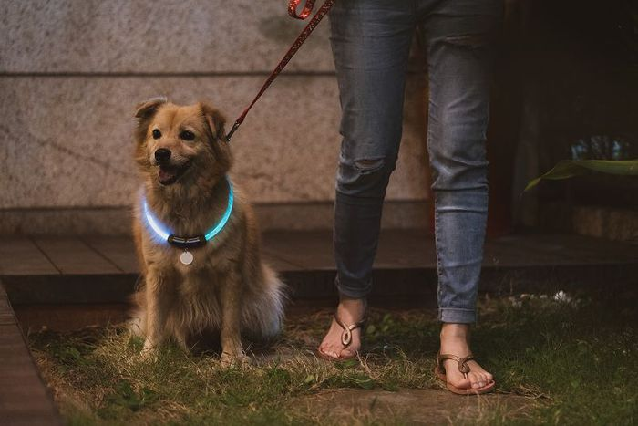 InfoThink|MARVEL復仇者聯盟寵物LED項圈-美國隊長