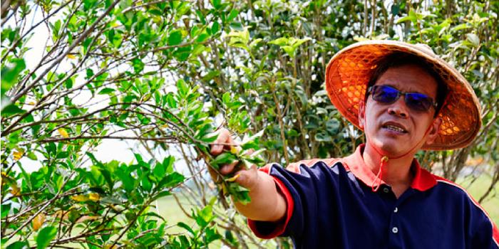 怡香茶園榭元在摘採黃梔烏龍原料有機黃梔花
