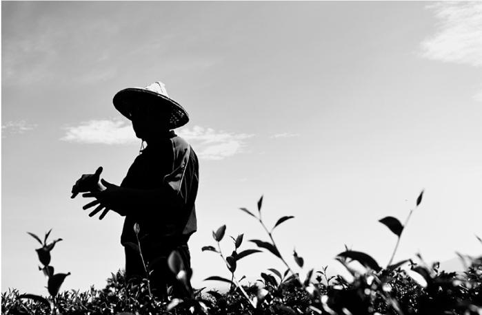 怡香茶園以自然農法栽種馥夜烏龍(黃梔烏龍)