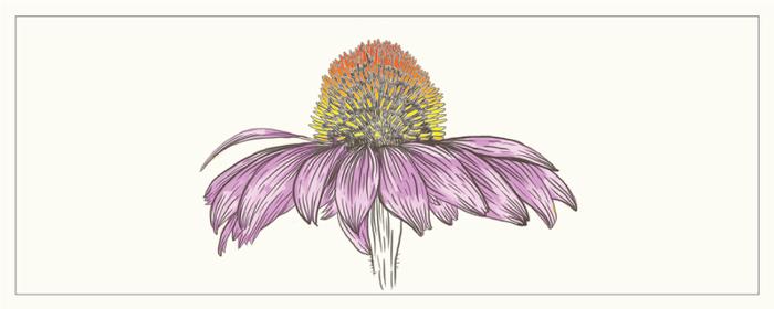 紫錐菊來源介紹
