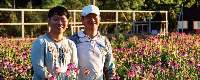 農銘紫錐菊花茶栽種方式與口感