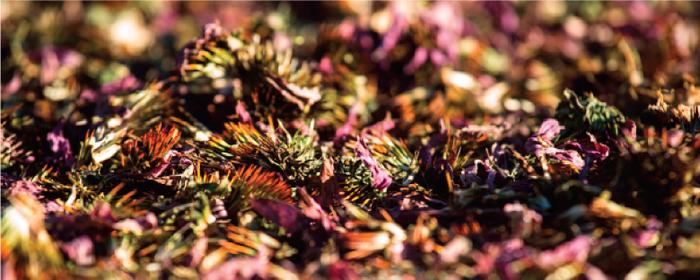 農銘紫錐菊花茶口感